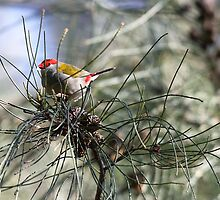 Red-Browed Finch by yolanda