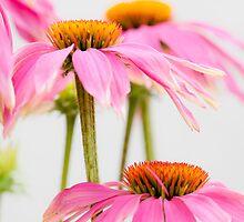 Pretty in Pink by Matthew Jones