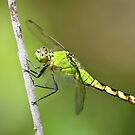 Common Pondhawk in Summuer by Steve Borichevsky