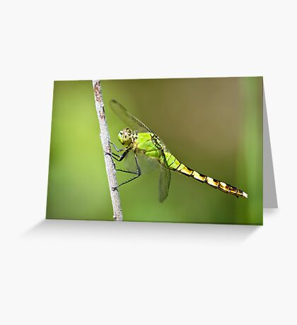 Common Pondhawk in Summuer Greeting Card