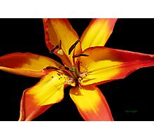 Red and Yellow Lily Photographic Print