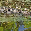 Seven Ducks In A Row ... by Danceintherain