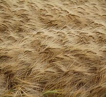 Long Eared Barley Field, High Coniscliffe, County Durham, England by Ian Alex Blease