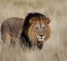 Mabua Male Lion by Adéle Van Schalkwyk