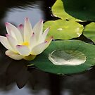 Wet Lotus by Kathy Cline