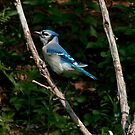 Blue Jay by browncardinal8