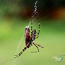 AGRIOPE SPIDER by mtozier