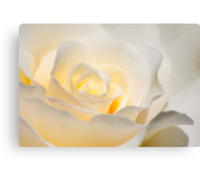 White Rose Blooming Canvas Print