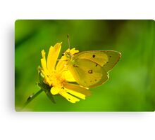 Clouded Sulphur on Lance-leaved Coreopsis Canvas Print