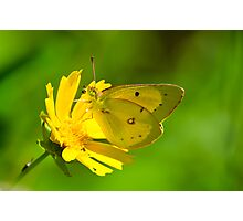 Clouded Sulphur on Lance-leaved Coreopsis Photographic Print
