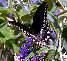 Swallowtail Butterfly by WeeZie