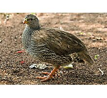 Natal Spurfowl Photographic Print