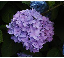 Lavender Beauty Photographic Print
