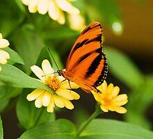 Banded orange butterfly by Thad Zajdowicz