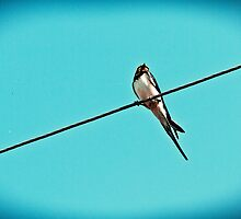 Swallow on the Line by tutulele