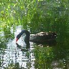 Black Swan Drinking by Chris1249