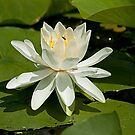 A Whiz of a Lily! by Mike Oxley