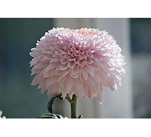 Soft and Pink Crysanthemum Photographic Print