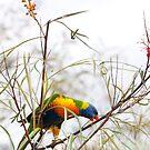 Rainbow Lorikeet - Herberton FNQ by Susan Kelly