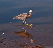 White Faced Heron, Fingal #3 by Odille Esmonde-Morgan