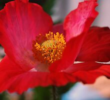 Red Poppy by Lozzar Flowers & Art