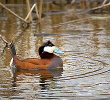 Ruddy Duck by Kim Barton