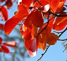 Colours, Crepe Myrtle in Autumn, Tumut, Australia. by kaysharp