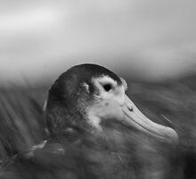 Albatross Chick by Craig Goldsmith