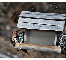 """ Northern flicker - Camillus NY "" Photographic Print"