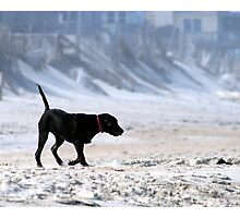 Beach Lab Photographic Print