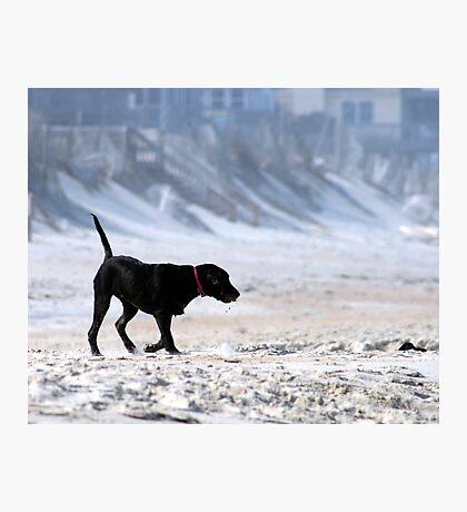 Beach Lab Photographic Print