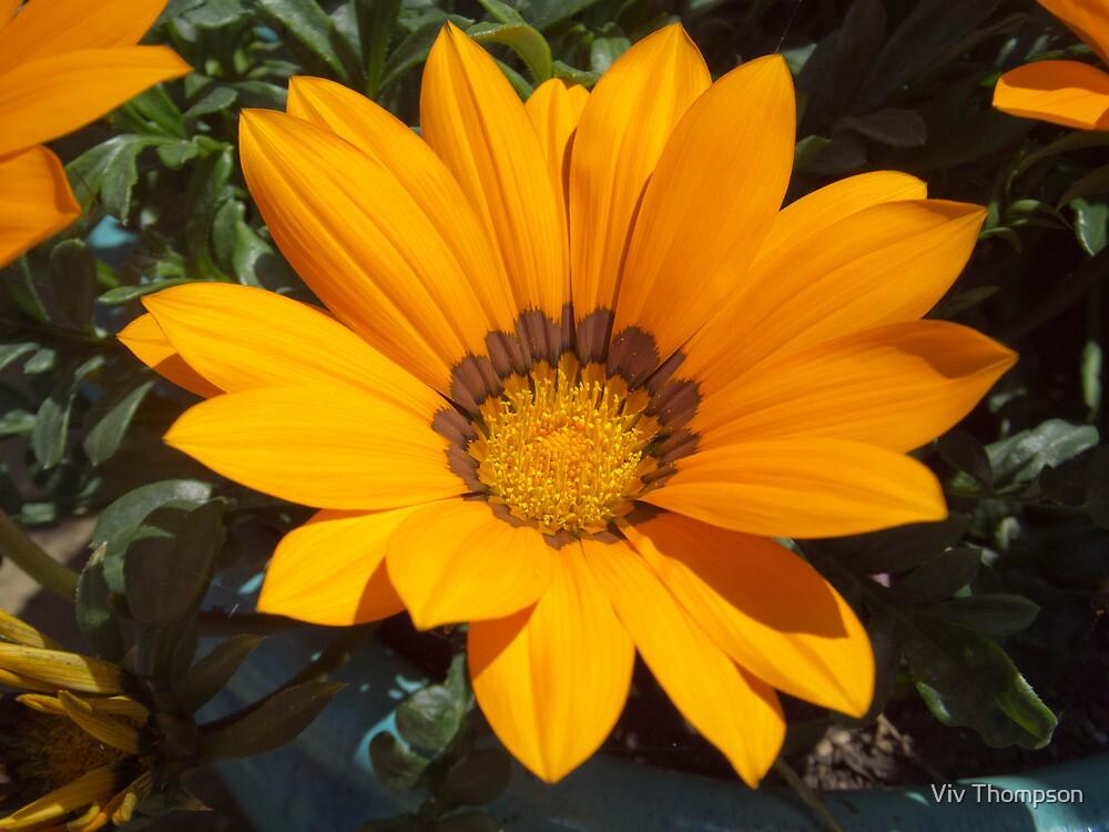 Yellow Gazania by vivsworld