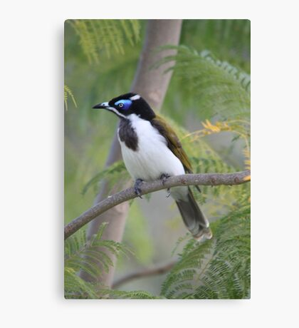 Blue-faced Honeyeater Canvas Print