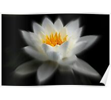 White WaterLilly  Poster