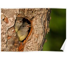 Baby Great Crested Flycatchers make a cameo appearance. Poster