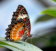 Australian Painted Lady by redscorpion