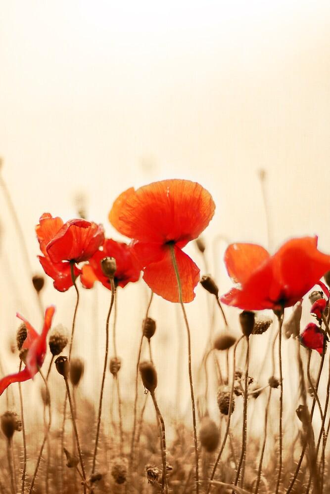 Poppies by lorrainem