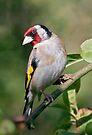 Goldfinch by Krys Bailey