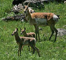 Twin Antelope Fawns by Ken McElroy
