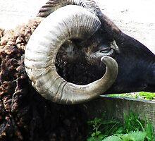 Sheep - check out my horns by Dawn (Paris) Gillies