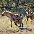 HYAENA ON THE HUNT - Spotted Hyaena - Crocuta crocuta by Magriet Meintjes