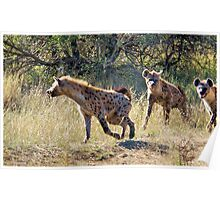 HYAENA ON THE HUNT - Spotted Hyaena - Crocuta crocuta Poster