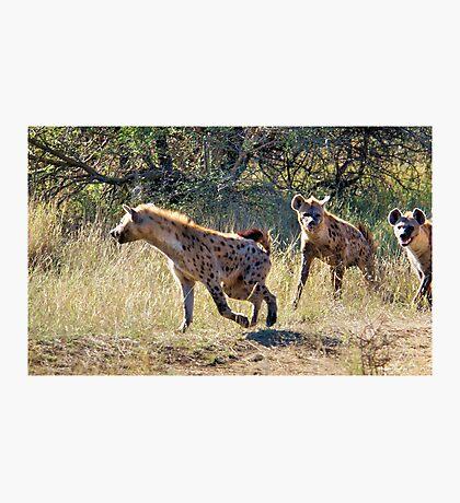 HYAENA ON THE HUNT - Spotted Hyaena - Crocuta crocuta Photographic Print