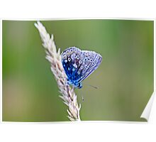 Animal, Insect, Butterfly, Adonis Blue, Lysandra bellargus, Poster