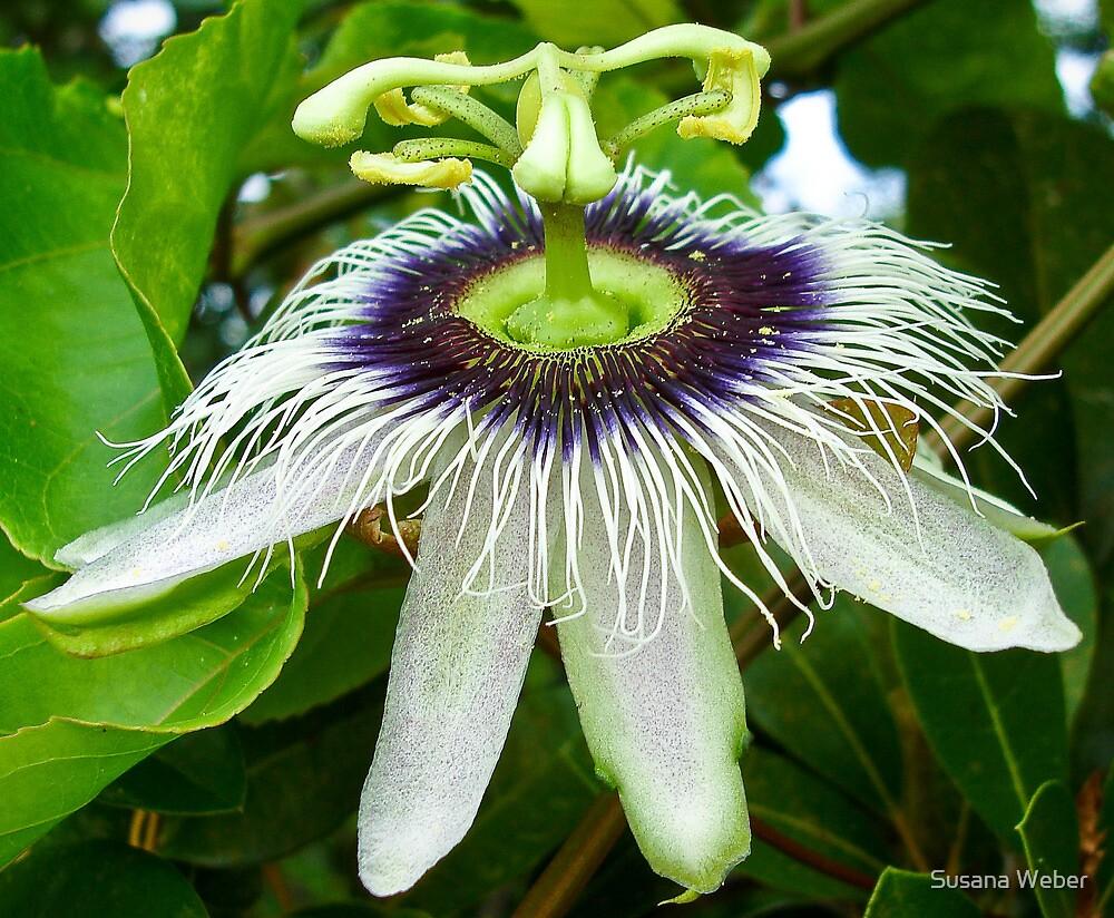 Passion fruit flower - St Martin, NA by Susana Weber