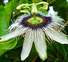 Passion fruit flower - St Martin, NA by Susana Weber