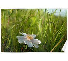 Wild Rose in the Field Poster