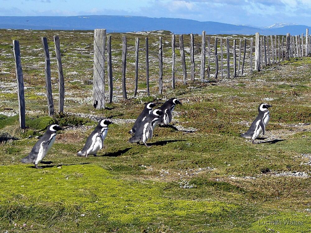 Magellanic Penguins On the Move by Lucinda Walter