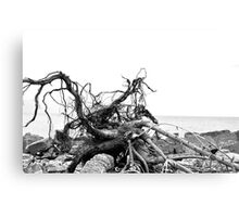 Rooted ~ Drift Roots Canvas Print