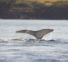 Humback Whale Tail by Linda Fury